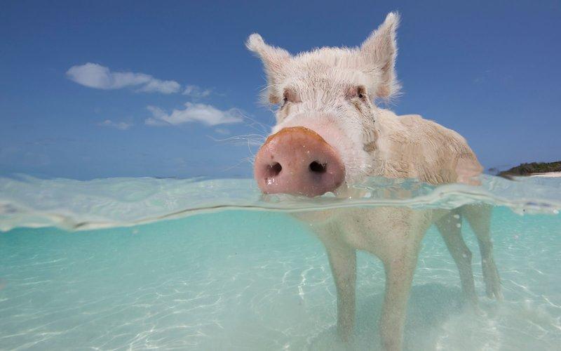 pigs_beach_piglet