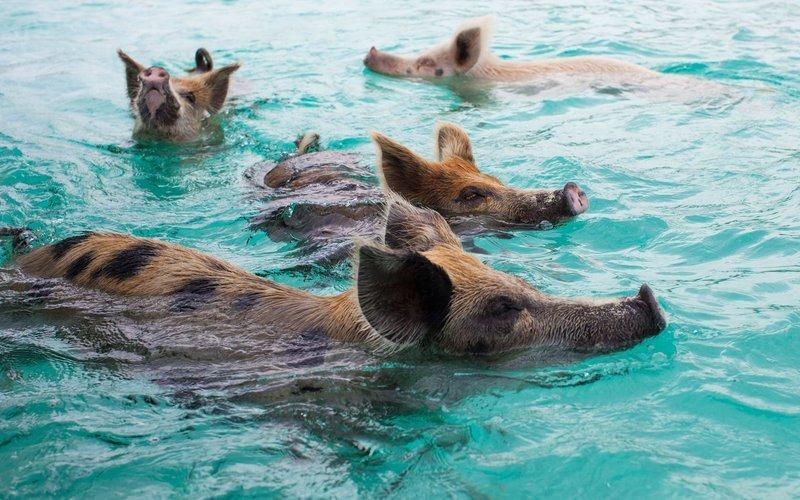 pigs_beach_swimming