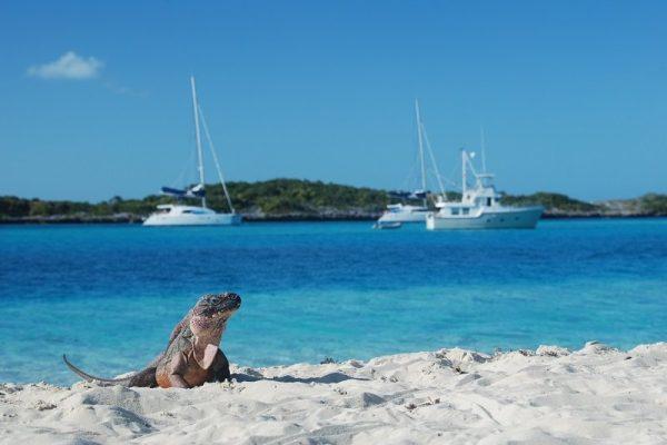 allens-cay-iguana