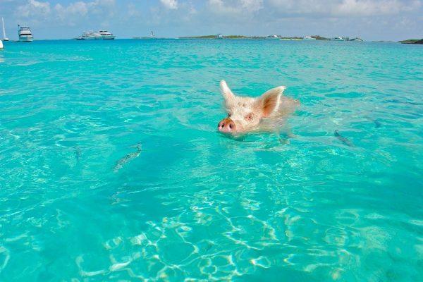 bahamas-pigs-beach-2