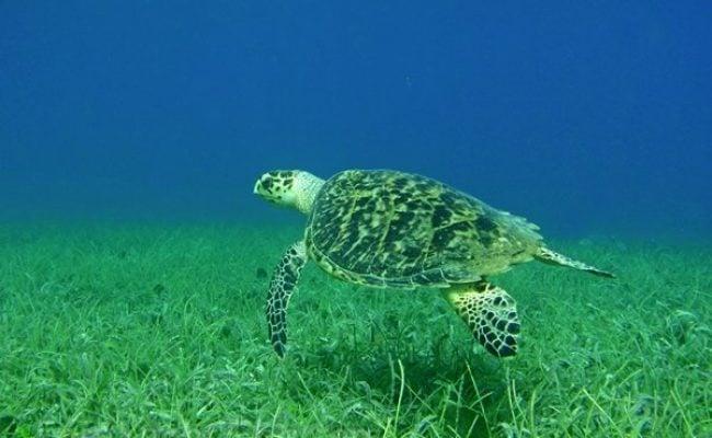 hawksbill-turtle-2