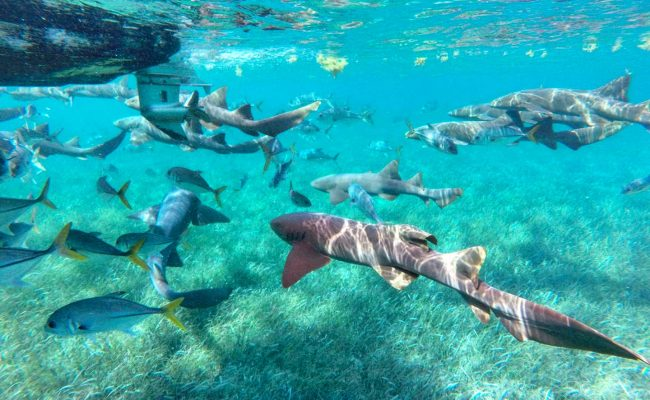 snorkel-with-sharks